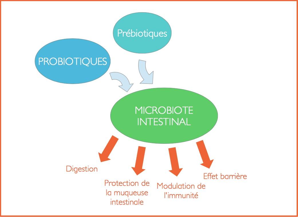 prébiotique-probiotique